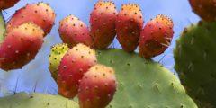 التين الشوكي : (فاكهة العظماء) فوائد عديدة وأضرار كثرة تناوله