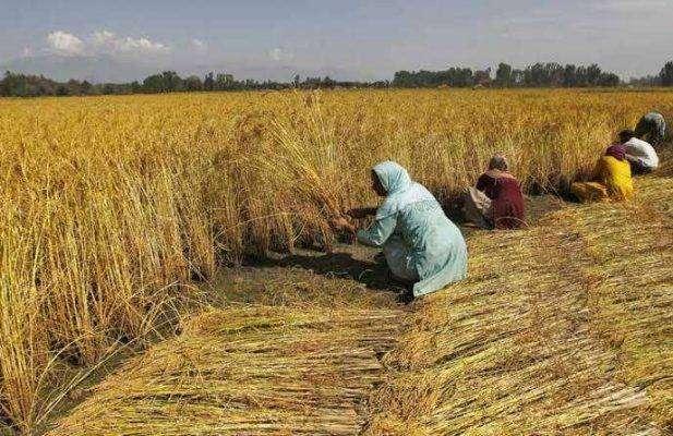 بماذا تشتهر الهند في الزراعة