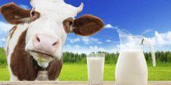 فوائد حليب البقر للتسمين