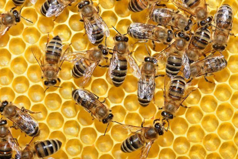 رويال جيلي  فوائد صحية مدهشة لغذاء ملكات النحل
