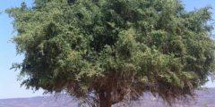 فوائد شجرة السدر في الامارات