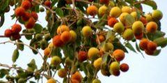 فوائد شجرة السدر وثمارها