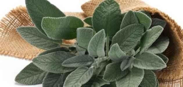 كيفية زراعة الميرمية