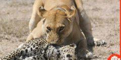 الحيوان المفترس الذي إذا جاع  أكل صغاره