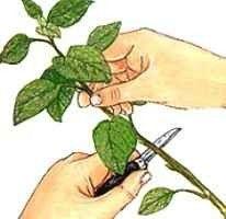 نصائح عند زراعة النعناع