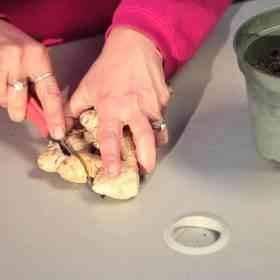 طريقة قطع الجذور  زراعة الزنجبيل داخل المنزل