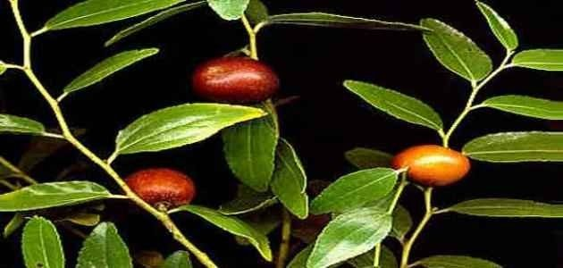 فوائد عشبة السدر للشعر  فوائد شرب عشبة السدر
