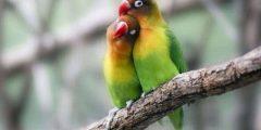 كيف تعرف طيور الحب الذكر من الانثى أفضل الطرق للتفريق بين الجنسين في طيور الحب