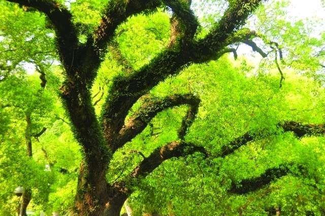 شجرة اليوكالبتوس