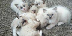 افضل انواع القطط الاليفه في العالم
